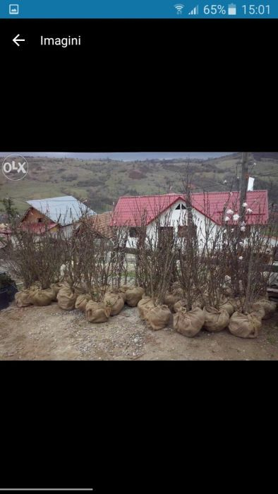Vindem magnolie si liliac din pepiniera proprie Bucuresti - imagine 1