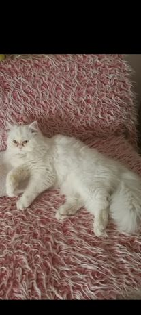 Продавам персийско котенце