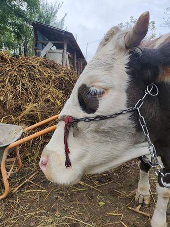 Vând vacă bună de lapte