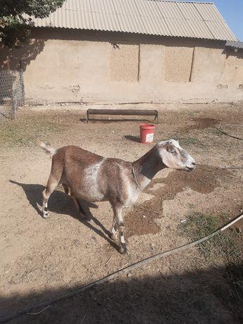 Продам дойные козы нубийские