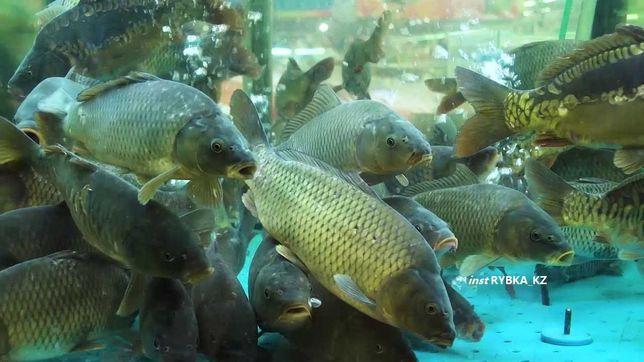 Сазан живая рыба балык