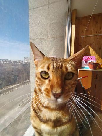 Вязка бенгальская кошка.