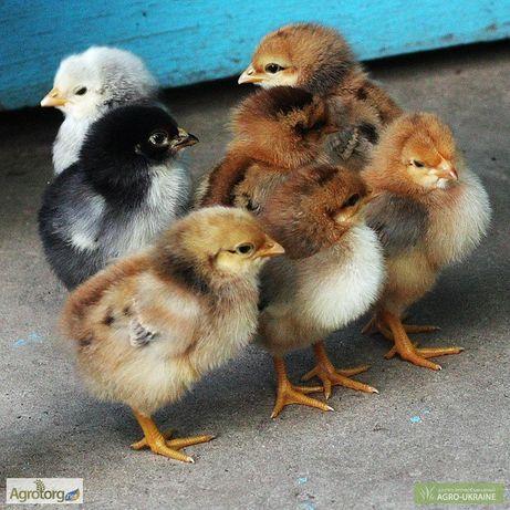 Продам Цыплят подрощенных