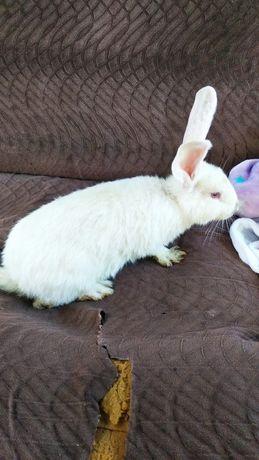 Продам кроликов 5 штук породы гигант