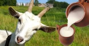 Козье лечебное молоко