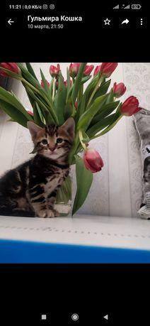 Продам бенгальского кота 4 месяца