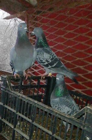 Най-бързите Пощенски гълъби от Странджа.