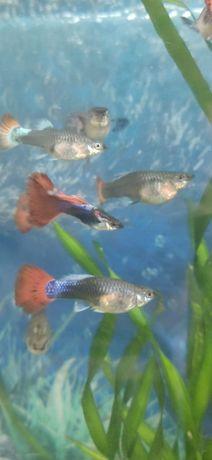 Аквариумные рыбки Гуппи, Сомики