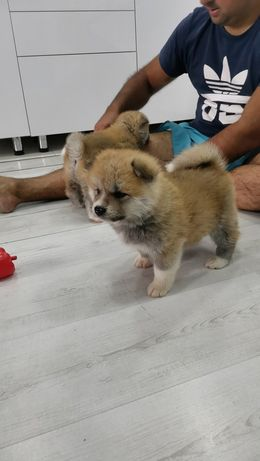 Самые лучшие щенки Акита-ину