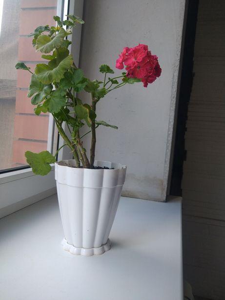 Цветы комнатные пеларгонии ,гибискусы