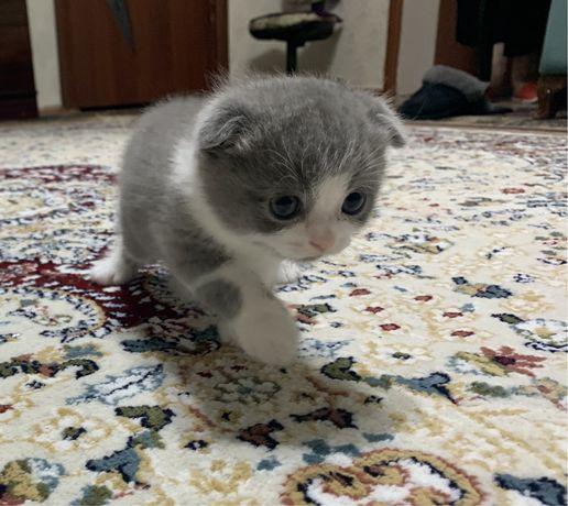 Продаются вислоухие котята (котенок скоттиш фолд)