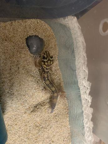 Сцинковые гекон