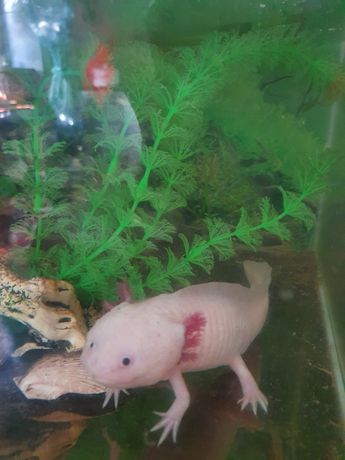 Аксалотль морской дракон