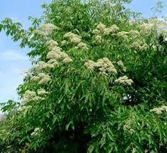 Еводия (дървото на пчеларя)