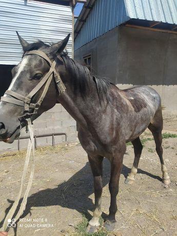 Продам лошадь будущий айгыр