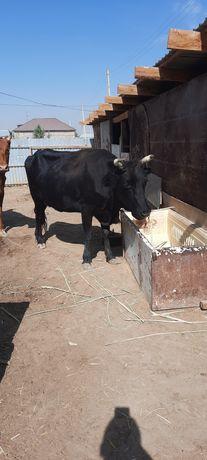 Кара сиыр,аппарат сиыр жылкы салатын и сиыр бузауымен