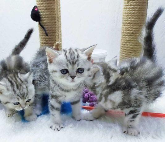 скоттиши котики и кошечки