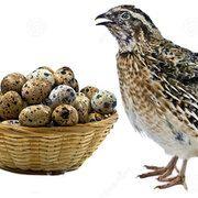 Oua de prepelita la cofrag de 24 de oua proaspete