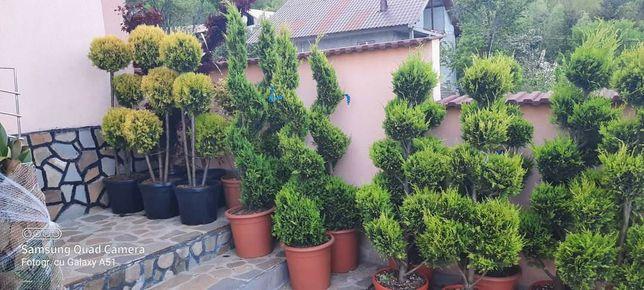 Tuia smarald columnaris biota Leylandy