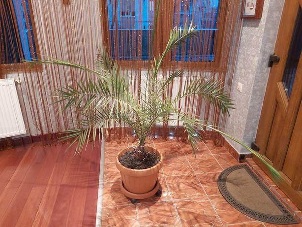 Palmier 1.5m