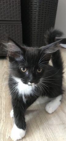 Котята от мамы Мейн-кун