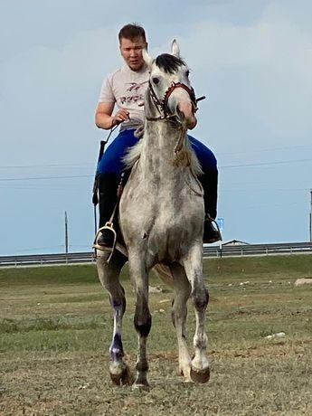 Продаётся лошадь жеребец чистокровный