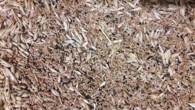 Зерно пшеницы свешего урожая