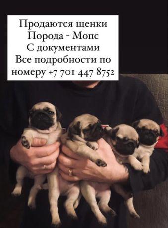 Щенята Мопсы