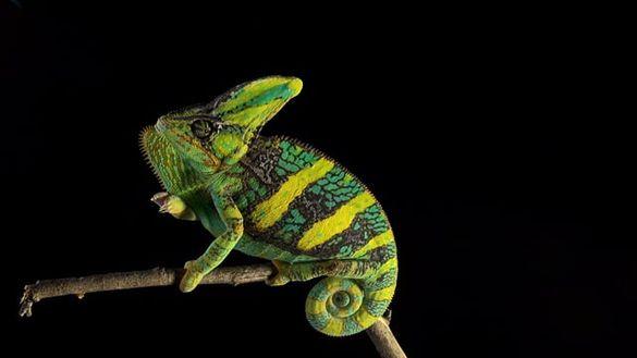 Йеменски Хамелеон (Chameleo calyptatus)