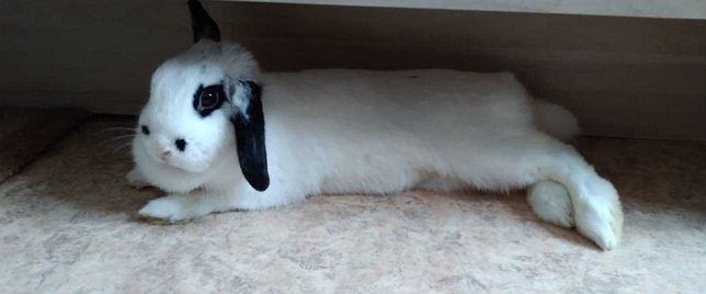 Продам вислоухого кролика