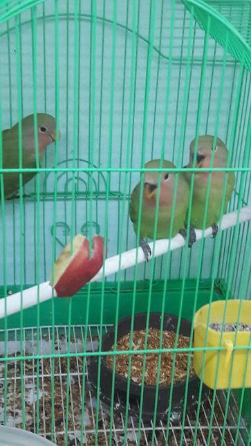 Неразлучники попугаи