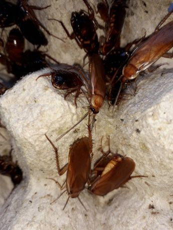 Lateralis ,preferați de agame ,cameleoni ,tarantule si diverse mamifer