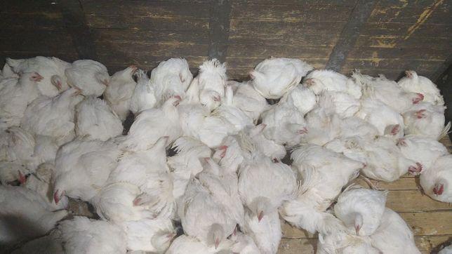 Цыплята бройлер росс308