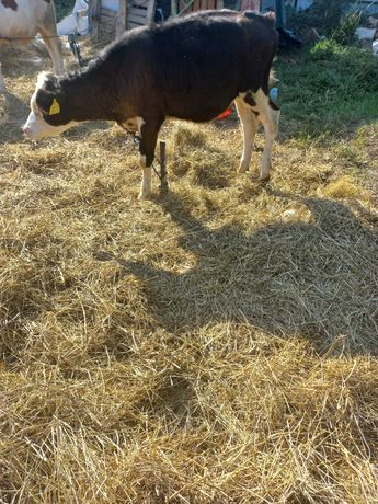 Vand 2 vitele 2300 negociabil bucata