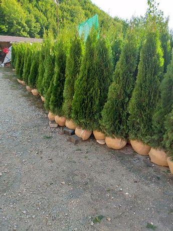 Plante Ornamentale Gazon rulou