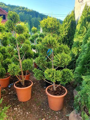Pon pon, tuia spiralata, palmier, cycas, cedru pletos (plangator) ilex