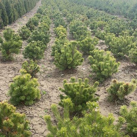 Продажа хвойных лиственных и плодовых деревьев и кустарников туи сосны