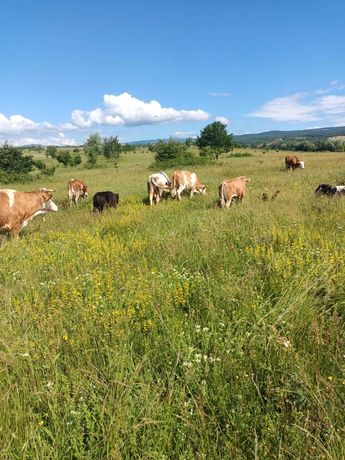 Vind vaci si juninci baltata romineasca