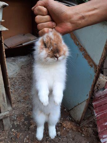Декоративная домашний кролик можно обменять на индаутку