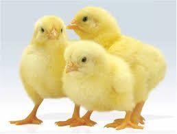"""Комбикорм для цыплят яичных пород """"Старт"""""""