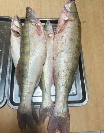 Рыба свежая замороженная