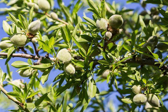Овошки, фиданки, дръвчета, посадъчен материал - Разсадник Кабуров