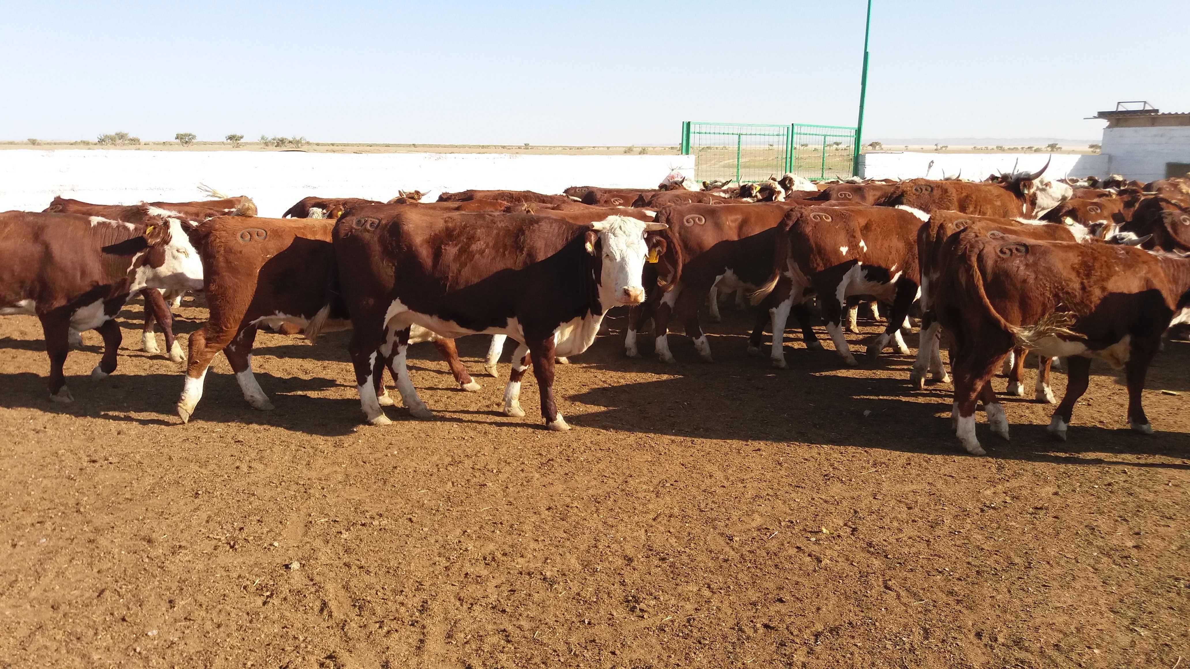 Племенные коровы казахской белоголовой породы