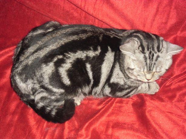 Питомник предлагает котов британцев для вязки.