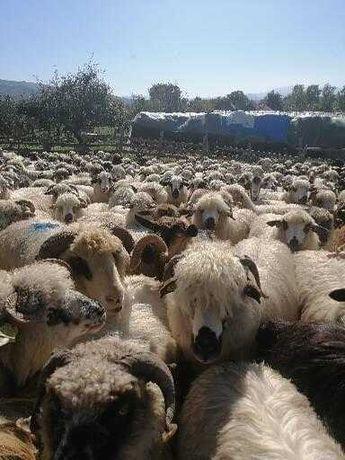 Vând 100 de oi pe ales din 300