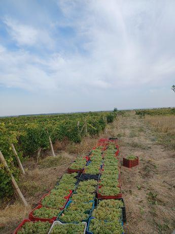 Struguri de vin productie 2021