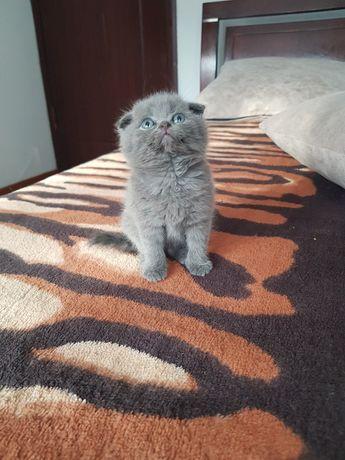 Клубный шотландский котенок, девочка