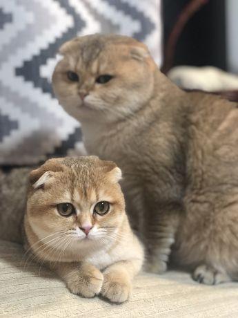 Вязка шиншилловых кошек