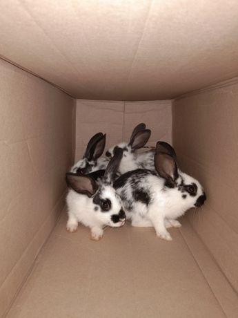 Көжектер,Коян,Кролики