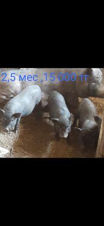 Вьетнамские поросята 3,5 мес